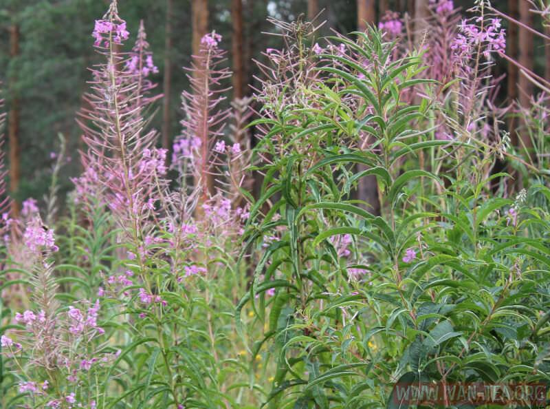 Листья и цветки Вологодского Иван-чая