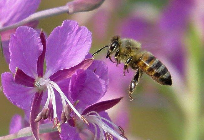 пчела на иван-чае